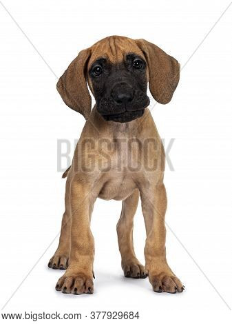 Handsome Naughty Fawn / Blond Great Dane Puppy, Standing Facing Front Looking Beside Lens With Dark