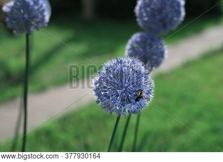 Wild Onion Flower Bulb. Allium Flower. Inflorescence Of Decorative Onion In The Garden. Ornamental G
