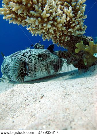 Arotnron Fish. Fishes - A Type Of Bone Fish Of The Osteytnes Pufferfish Tetraodontidae. Spiny Puffer
