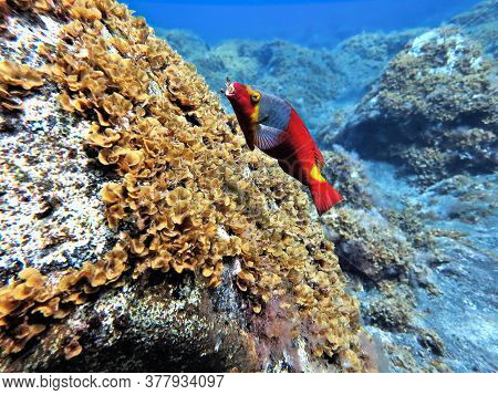 Underwater Photo Of Colorful Red Parrot Fish. From A Scuba Dive Off The Coast Of The Island El Hierr