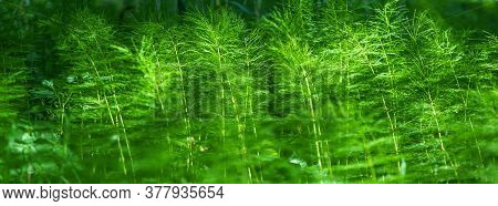 Banner Green Horsetail In The Summer Forest