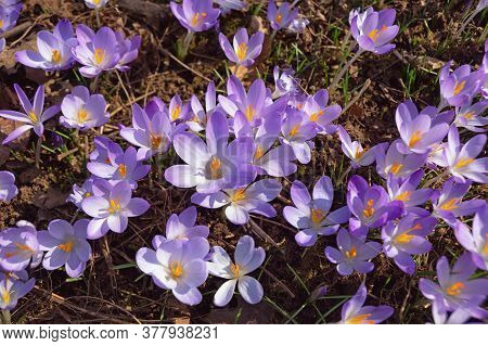 First Spring Flowers. Group Of Crocus Flowers (crocus Vernus) In The Park
