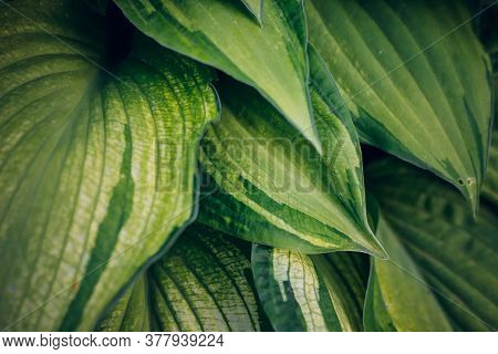 Hosta Foliage Background. Wallpaper With Green Plant Leaves