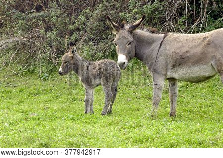 Domesticated Donkey Or Ass On A Meadow On A Farm, Outdoors