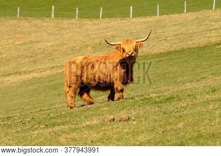 Scottish Highland Cattle Grazing On A Pasture In The Summer