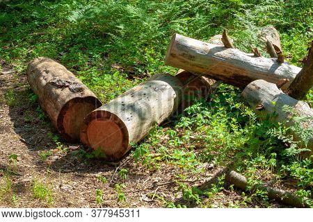 Pile Of Logs In A Forest Glade. Cut Down Old Trees In The Forest. Planned Deforestation.