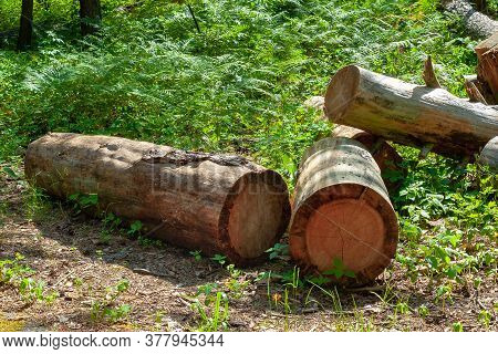 A Pile Of Logs In A Forest Glade. Felled Old Trees In The Forest. Planned Deforestation.