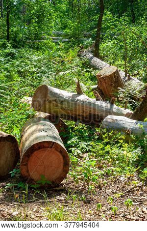 A Pile Of Logs In A Forest Glade. Felled Trees In The Forest. Planned Deforestation.