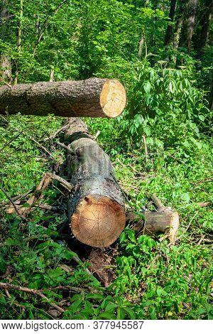 The Logs Are Thrown In A Forest Glade. Felled Trees In The Forest. Planned Deforestation.