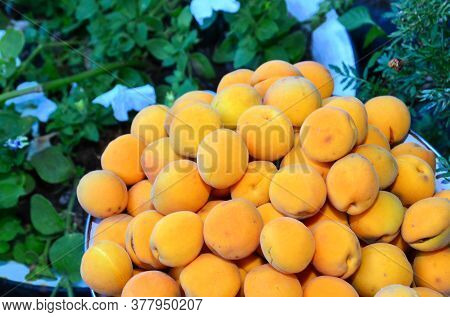 The Harvested Harvest Of Ripe Apricots Is Shot Against The Backdrop Of A Flower Bed.