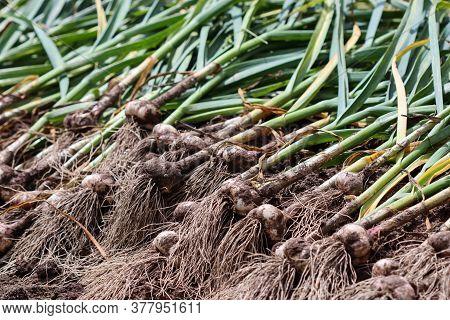Harvesting Garlic In The Garden. Harvest Concept