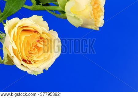 Orange Roses Isolated On A Blue Background. Copy Space. Postcard. Place For Text. Gardening.