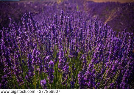 Famous Lavender Fields In France Provence - Travel Photography
