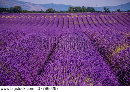The Violet Lavender Fields Of Valensole Provence In France - Travel Photography