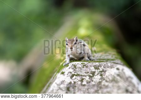 Indian Palm Squirrel Or Three Striped Palm Squirrel Looking At The Camera With Copy Space