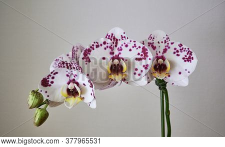 Close Up Of Beautiful Branch Of White With Purple Dots Orchids. Phalaenopsis Orchid Flowers