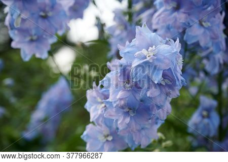Close Up Of Delphinium (larkspur) Delicate Blue Flowers On Blurred Floral Background