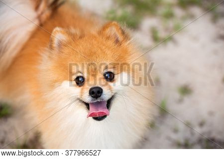 Pomeranian Adult Dog Outside Looking Up At The Camera