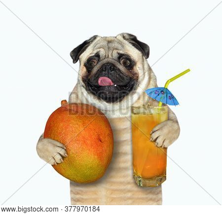 The Pug Dog Is Holding A Mango And A Glass Of Fresh Fruit Juice With A Straw Drinking. White Backgro