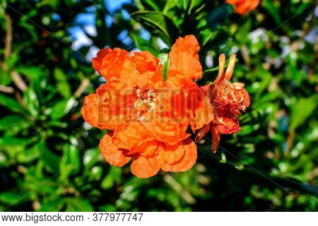 Close Up Of One Beautiful Small Vivid Orange Red Pomegranate Flower In Full Bloom On Blurred Green B