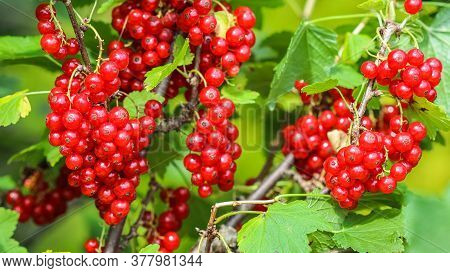 Bunches Of Red Currants On The Branches Of A Bush In The Garden. Harvesting Concept