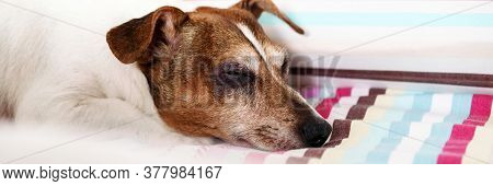 Cute Puppy Jack Russell Terrier With Brown Head Puts Muzzle On Coloured Striped Blanket In Bedroom I
