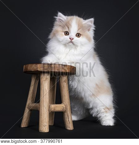 Fluffy White With Creme British Longhair Kitten, Standing On Hind Paws, Front Paws On Little Wooden