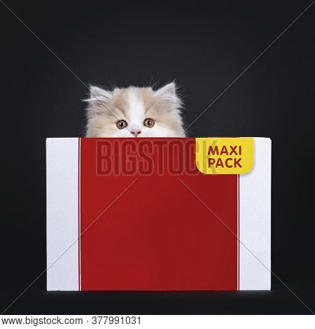 Fluffy White With Creme British Longhair Kitten, Hiding Behind Carton Box. Looking Towards Camera Wi