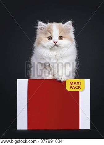 Fluffy White With Creme British Longhair Kitten, Standing Behind Carton Box. Looking Towards Camera