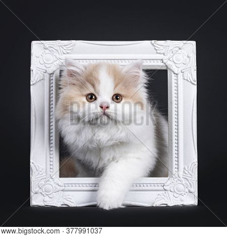 Fluffy White With Creme British Longhair Kitten, Standing Through White Photo Frame. Looking Towards