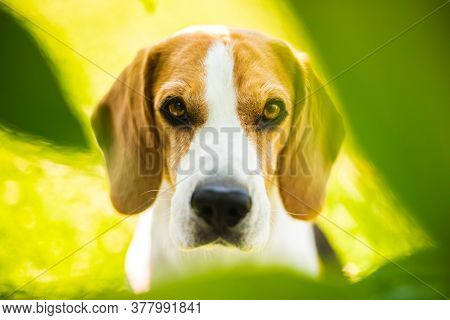 Portrait Of Beagle Dog Between Green Leaves Outdoors. Canine Theme
