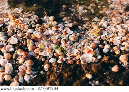 Seashells On Mediterranean Sea On Sand. Many Orange Seashells. Blurred Beach. Postcard