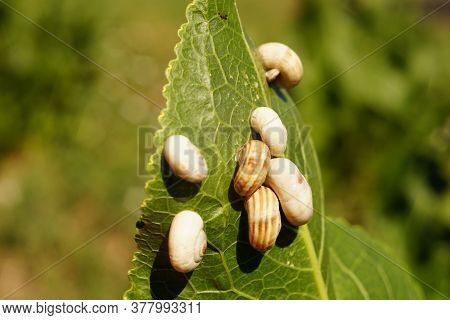 White Snail Shells On Green Horseradish Leaf In A Field