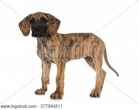 Cute Light Brindle Great Dane Pup, Standing Side Ways. Looking At Camera With Dark Shiny Eyes. Isola