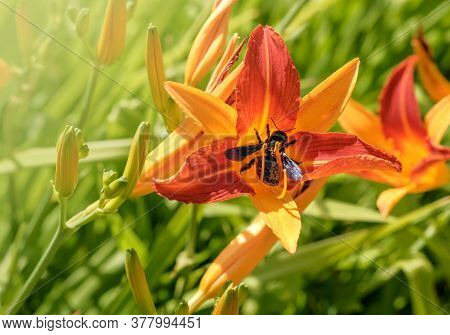Macro Of Blooming Day-lily Flower Or Hemerocallis Flower With Xylocopa Valga Or Carpenter Bee. Insec