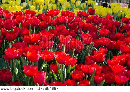 Beautiful Red Tulip Flower For A Background