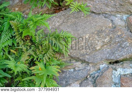 Close Up Of Old Stone Wall With Wild Fern, Polypodiopsida Or Polypodiophyta. Granite Wall With Ancie