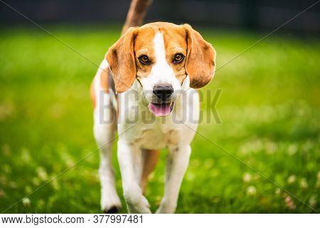 Dog Runs Towards Camera. Active Training With Beagle Dog. Canine Theme