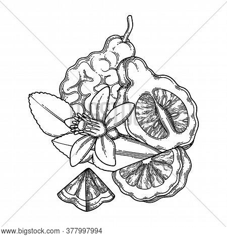 Graphic Whole And Sliced Bergamot Fruits, Leaves And Flower