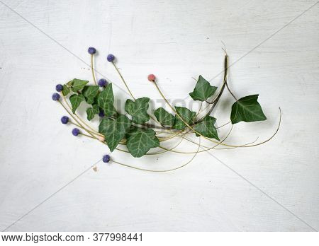 Ivy. Small ivy branch on white wood board