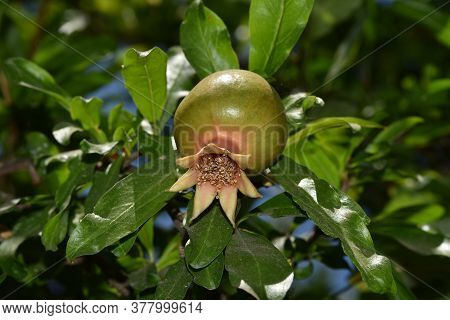 Close Up Of Young Pomegranate Fruit On A Branch Of Pomegranate Tree In A Garden, Young Green Pomegra