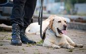 Labrador Retriever police dog laying on the ground poster