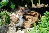 Two small young tabby cats sleep curled up together in the shade below a shrub poster