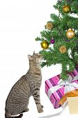 Family tabby cat sitting under the tree eyeing the tempting Christmas decorations isolated on white poster