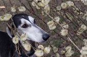 A portrait of young smooth saluki in blooming willow poster