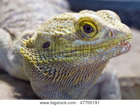 close up portrait of a bearded dragon lizard poster