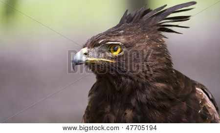 close-up of a crested eagle