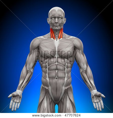 Neck - Anatomy Muscles