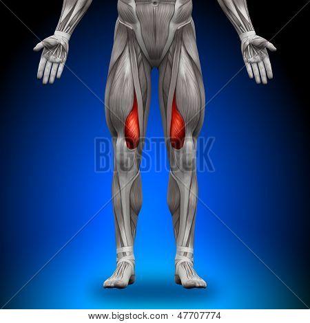 Vastus Medialis - Anatomy Muscles