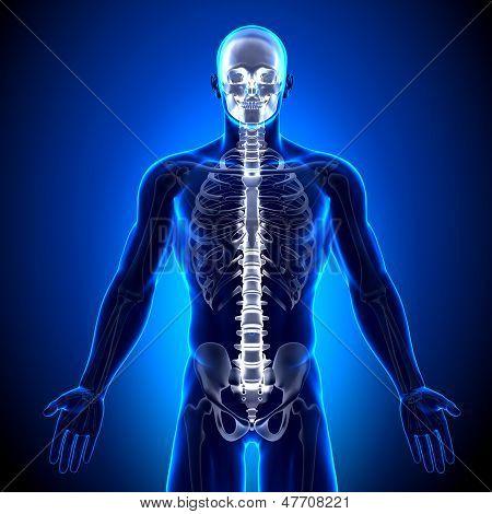 Spine / Vertebrae - Anatomy Bones